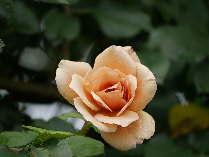 つるジュリア(Julia Climbing)の2番花がまた咲いた。ツルバラ。2020年-005.jpg