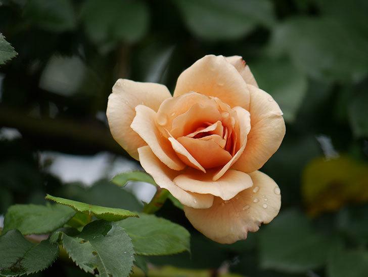 つるジュリア(Julia Climbing)の2番花がまた咲いた。ツルバラ。2020年-006.jpg