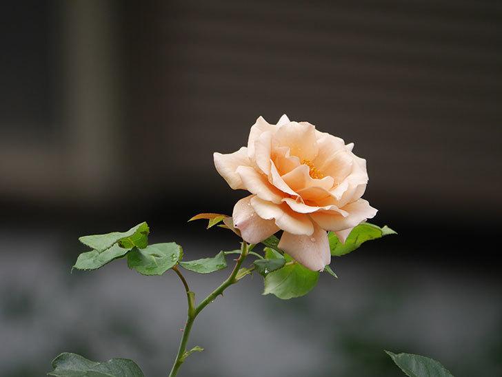 つるジュリア(Julia Climbing)の2番花がまた咲いた。ツルバラ。2020年-007.jpg