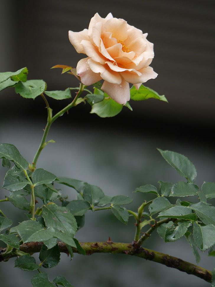 つるジュリア(Julia Climbing)の2番花がまた咲いた。ツルバラ。2020年-008.jpg