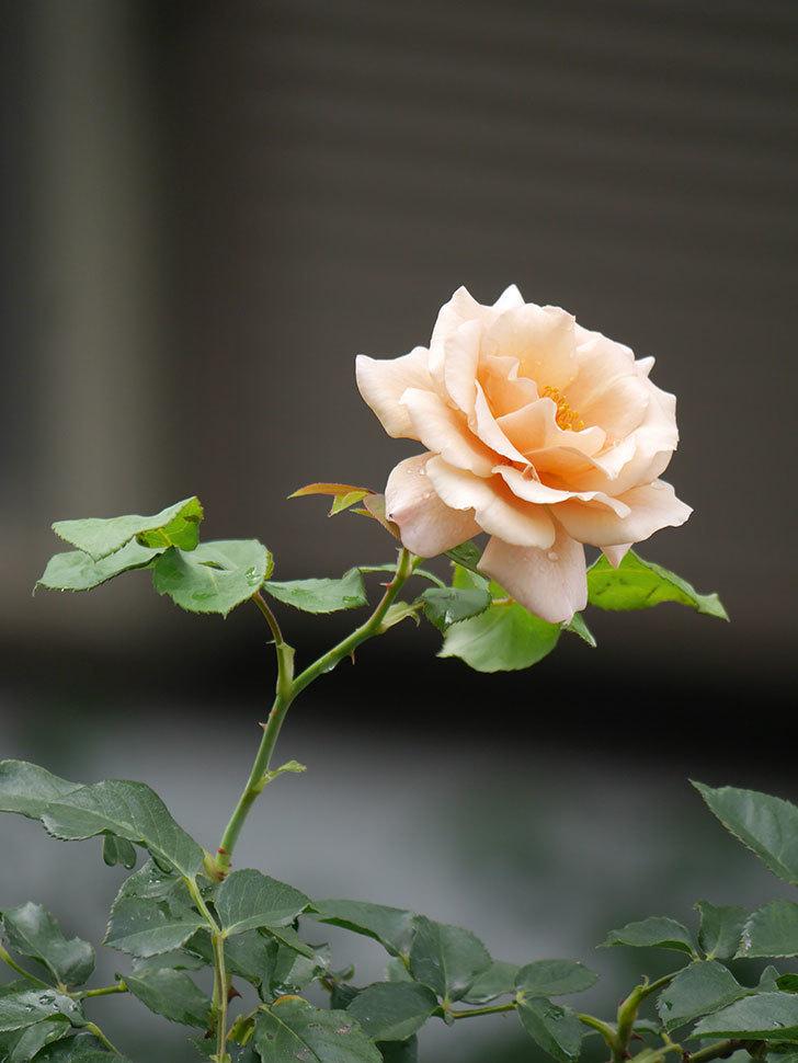 つるジュリア(Julia Climbing)の2番花がまた咲いた。ツルバラ。2020年-009.jpg