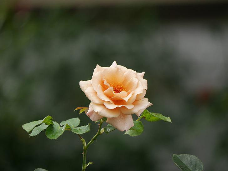 つるジュリア(Julia Climbing)の2番花がまた咲いた。ツルバラ。2020年-010.jpg