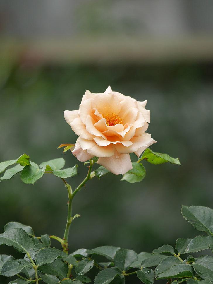 つるジュリア(Julia Climbing)の2番花がまた咲いた。ツルバラ。2020年-011.jpg