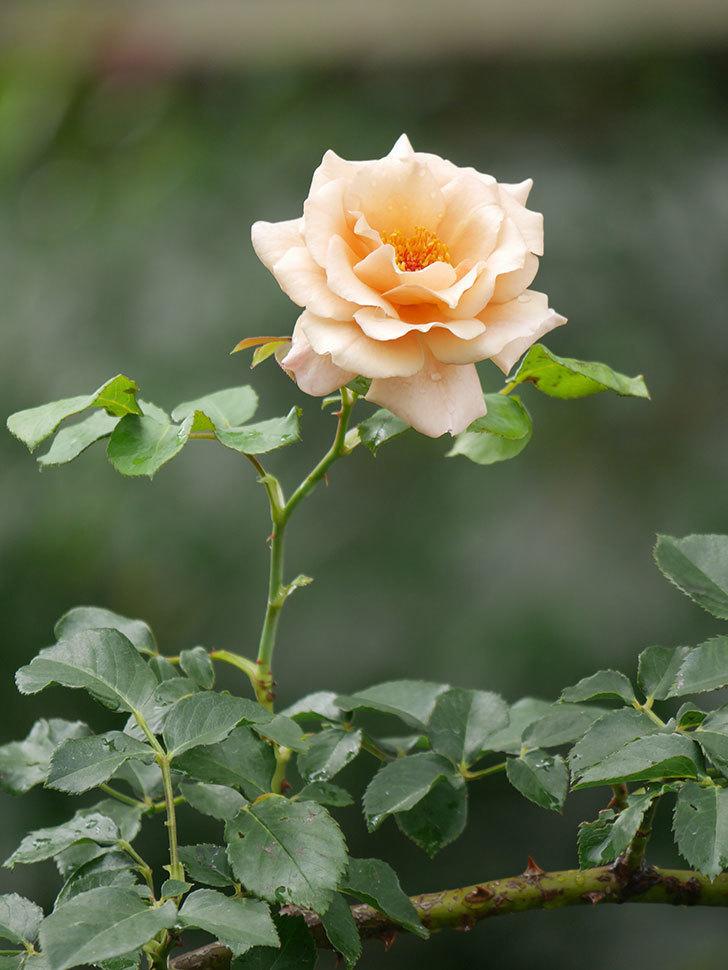 つるジュリア(Julia Climbing)の2番花がまた咲いた。ツルバラ。2020年-012.jpg