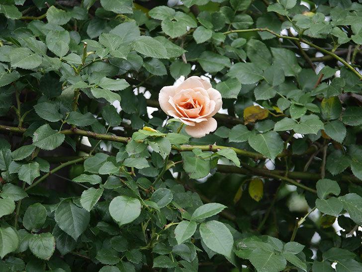 つるジュリア(Julia Climbing)の2番花がまた咲いた。ツルバラ。2020年-013.jpg
