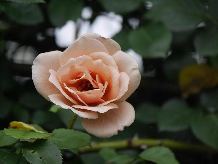 つるジュリア(Julia Climbing)の2番花がまた咲いた。ツルバラ。2020年-014.jpg