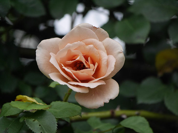 つるジュリア(Julia Climbing)の2番花がまた咲いた。ツルバラ。2020年-015.jpg