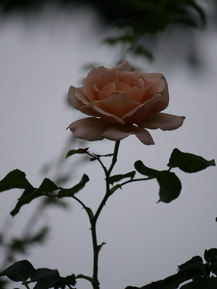 つるジュリア(Julia Climbing)の2番花がまた咲いた。ツルバラ。2020年-016.jpg