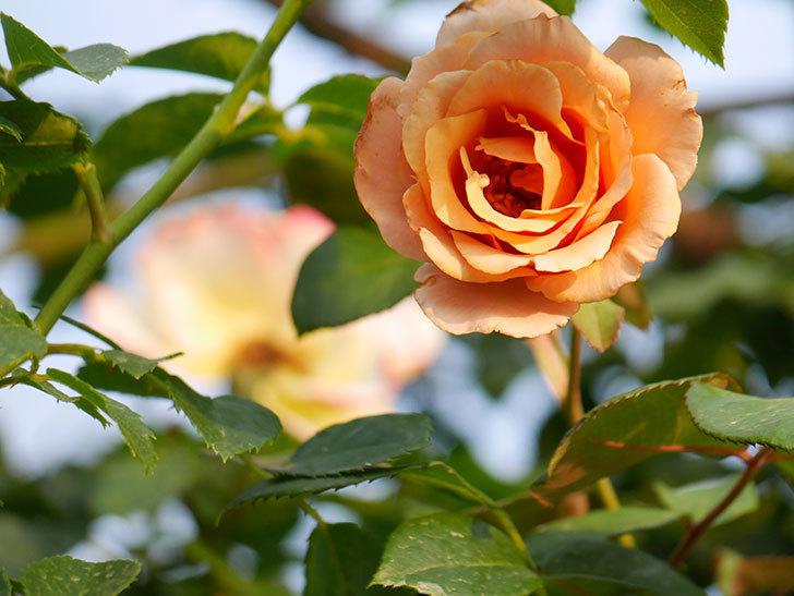 つるジュリア(Julia Climbing)の2番花が咲いた。ツルバラ。2020年-002.jpg