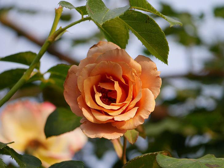 つるジュリア(Julia Climbing)の2番花が咲いた。ツルバラ。2020年-003.jpg