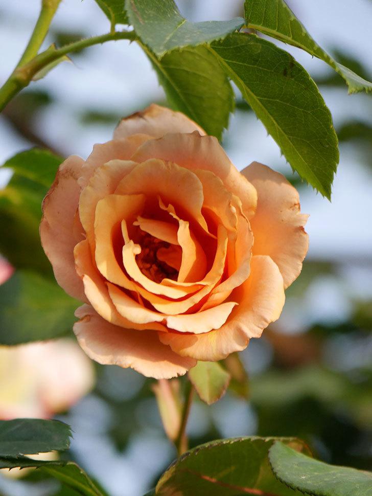 つるジュリア(Julia Climbing)の2番花が咲いた。ツルバラ。2020年-005.jpg