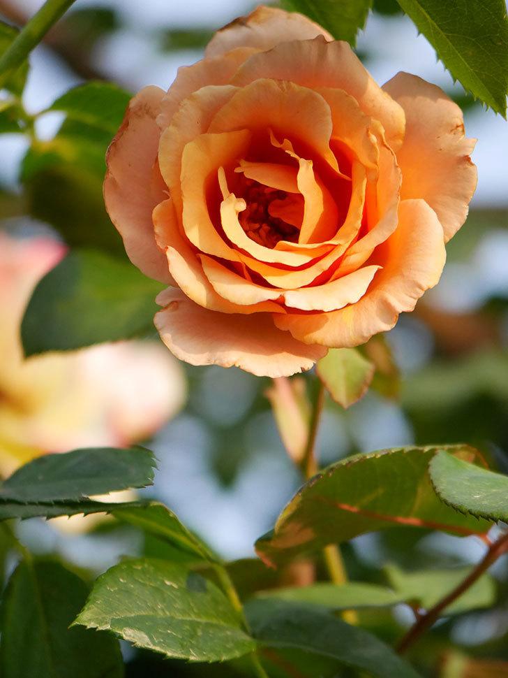 つるジュリア(Julia Climbing)の2番花が咲いた。ツルバラ。2020年-006.jpg