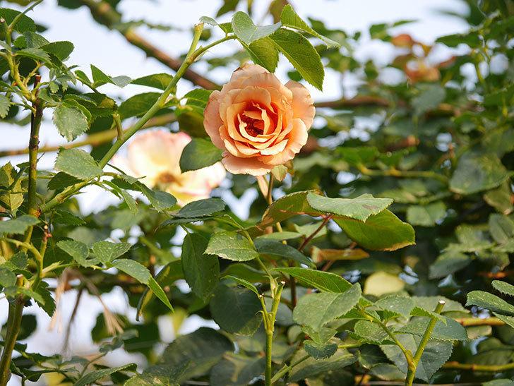 つるジュリア(Julia Climbing)の2番花が咲いた。ツルバラ。2020年-007.jpg
