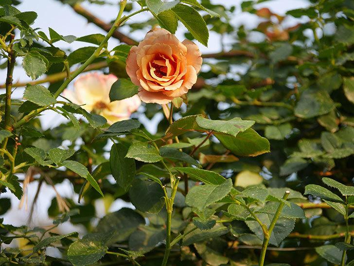 つるジュリア(Julia Climbing)の2番花が咲いた。ツルバラ。2020年-008.jpg