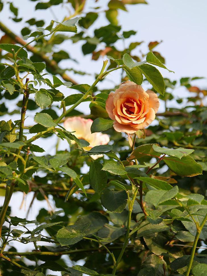 つるジュリア(Julia Climbing)の2番花が咲いた。ツルバラ。2020年-009.jpg