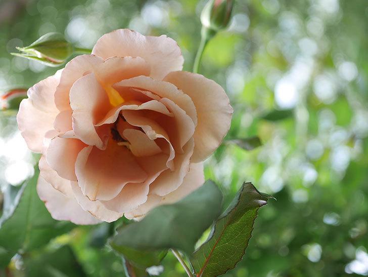 つるジュリア(Julia Climbing)の2番花が咲いた。ツルバラ。2021年-002.jpg