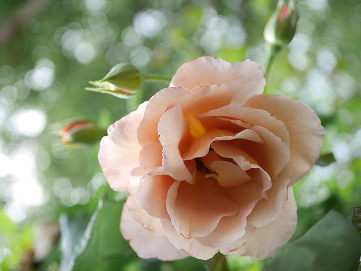 つるジュリア(Julia Climbing)の2番花が咲いた。ツルバラ。2021年-003.jpg