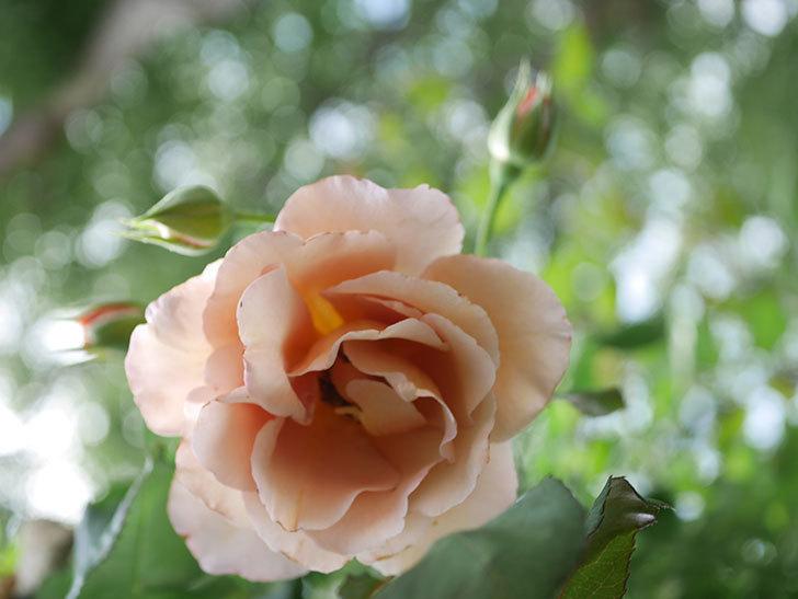 つるジュリア(Julia Climbing)の2番花が咲いた。ツルバラ。2021年-004.jpg