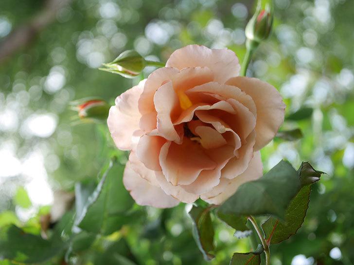 つるジュリア(Julia Climbing)の2番花が咲いた。ツルバラ。2021年-005.jpg