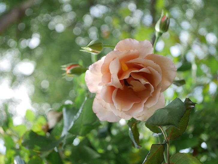 つるジュリア(Julia Climbing)の2番花が咲いた。ツルバラ。2021年-006.jpg