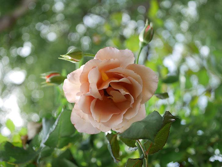 つるジュリア(Julia Climbing)の2番花が咲いた。ツルバラ。2021年-007.jpg