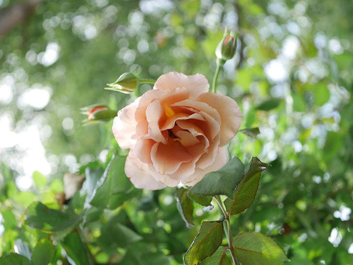 つるジュリア(Julia Climbing)の2番花が咲いた。ツルバラ。2021年-008.jpg