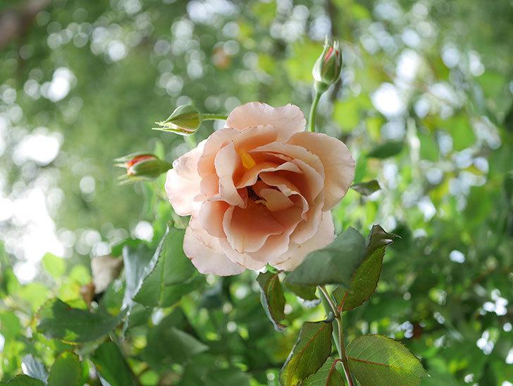 つるジュリア(Julia Climbing)の2番花が咲いた。ツルバラ。2021年-009.jpg