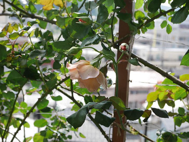 つるジュリア(Julia Climbing)の2番花が咲いた。ツルバラ。2021年-010.jpg