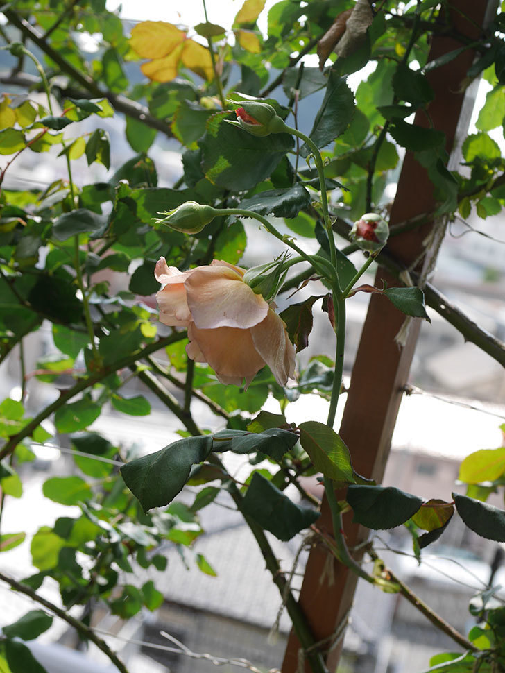 つるジュリア(Julia Climbing)の2番花が咲いた。ツルバラ。2021年-012.jpg