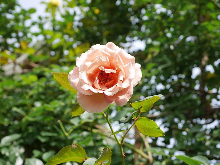 つるジュリア(Julia Climbing)の2番花が咲いた。ツルバラ。2021年-013.jpg