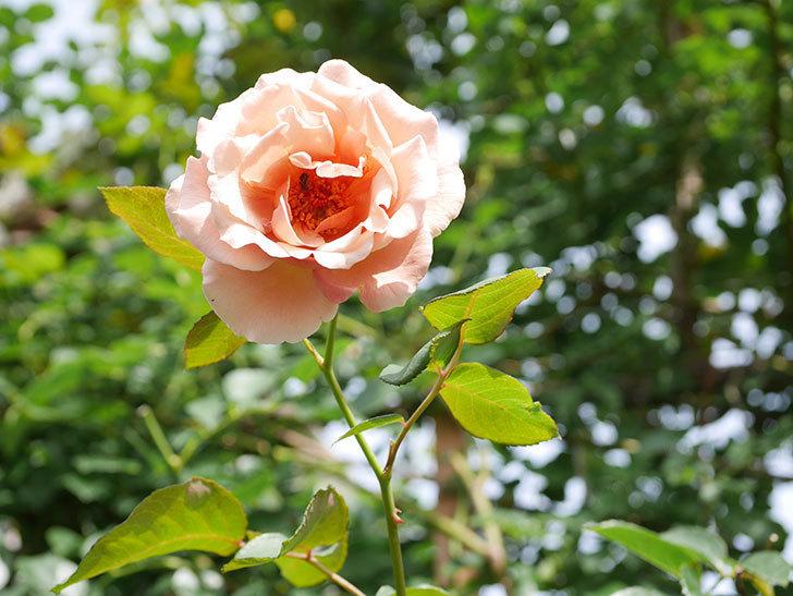 つるジュリア(Julia Climbing)の2番花が咲いた。ツルバラ。2021年-014.jpg
