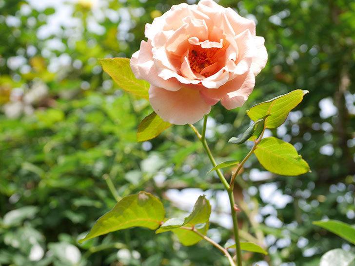 つるジュリア(Julia Climbing)の2番花が咲いた。ツルバラ。2021年-015.jpg