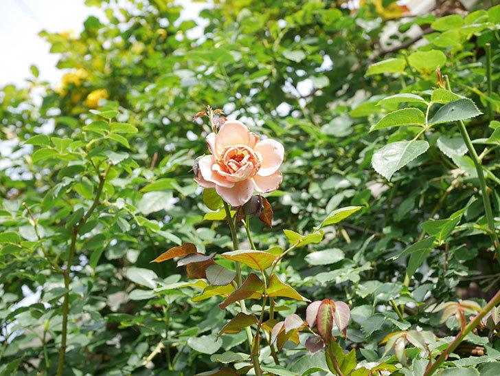 つるジュリア(Julia Climbing)の2番花が咲いた。ツルバラ。2021年-016.jpg