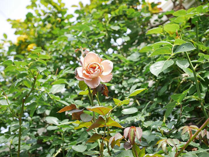 つるジュリア(Julia Climbing)の2番花が咲いた。ツルバラ。2021年-017.jpg