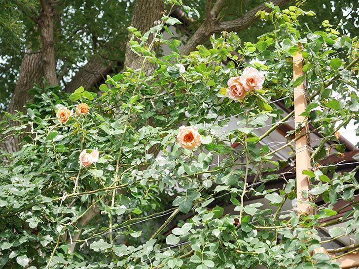 つるジュリア(Julia Climbing)の2番花が咲いた。ツルバラ。2021年-018.jpg