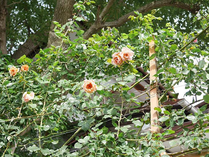 つるジュリア(Julia Climbing)の2番花が咲いた。ツルバラ。2021年-019.jpg