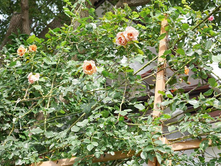つるジュリア(Julia Climbing)の2番花が咲いた。ツルバラ。2021年-020.jpg