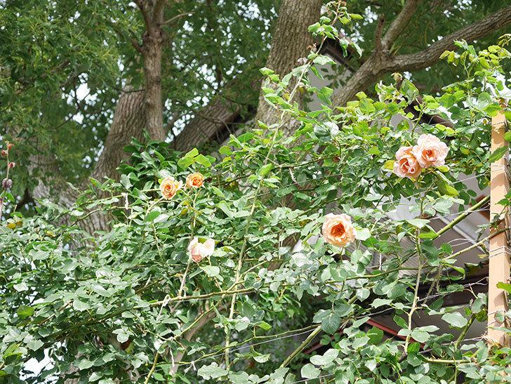 つるジュリア(Julia Climbing)の2番花が咲いた。ツルバラ。2021年-021.jpg