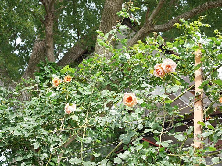 つるジュリア(Julia Climbing)の2番花が咲いた。ツルバラ。2021年-022.jpg