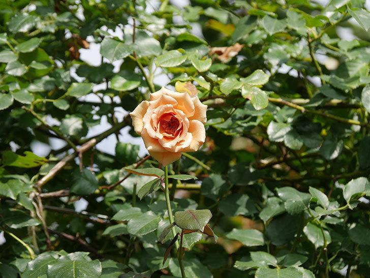 つるジュリア(Julia Climbing)の夏花がまた咲いた。ツルバラ。2020年-002.jpg