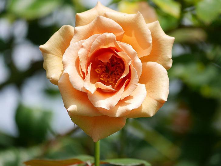 つるジュリア(Julia Climbing)の夏花がまた咲いた。ツルバラ。2020年-003.jpg