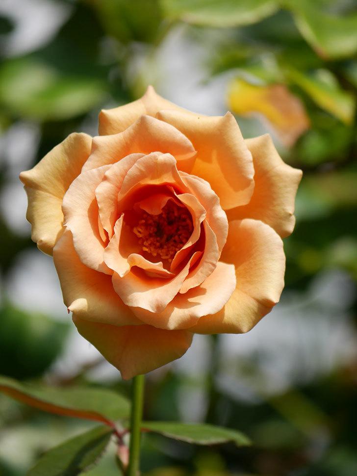 つるジュリア(Julia Climbing)の夏花がまた咲いた。ツルバラ。2020年-004.jpg