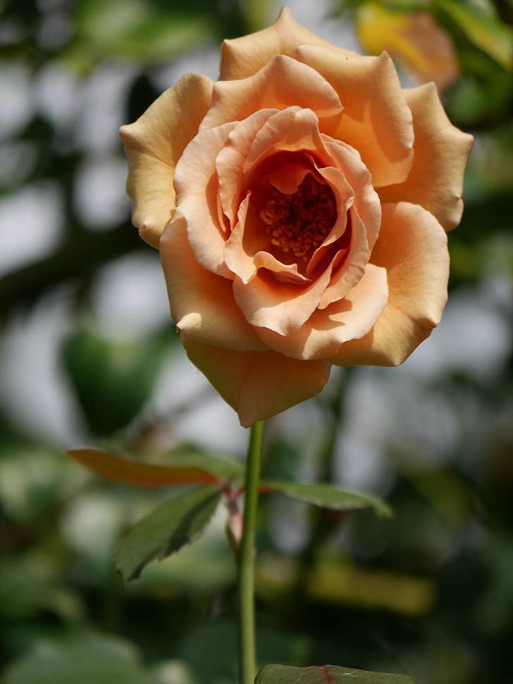 つるジュリア(Julia Climbing)の夏花がまた咲いた。ツルバラ。2020年-005.jpg