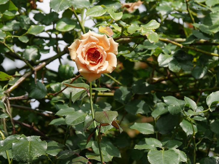 つるジュリア(Julia Climbing)の夏花がまた咲いた。ツルバラ。2020年-006.jpg