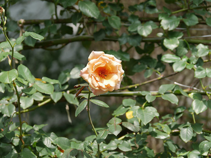 つるジュリア(Julia Climbing)の夏花がまた咲いた。ツルバラ。2020年-007.jpg