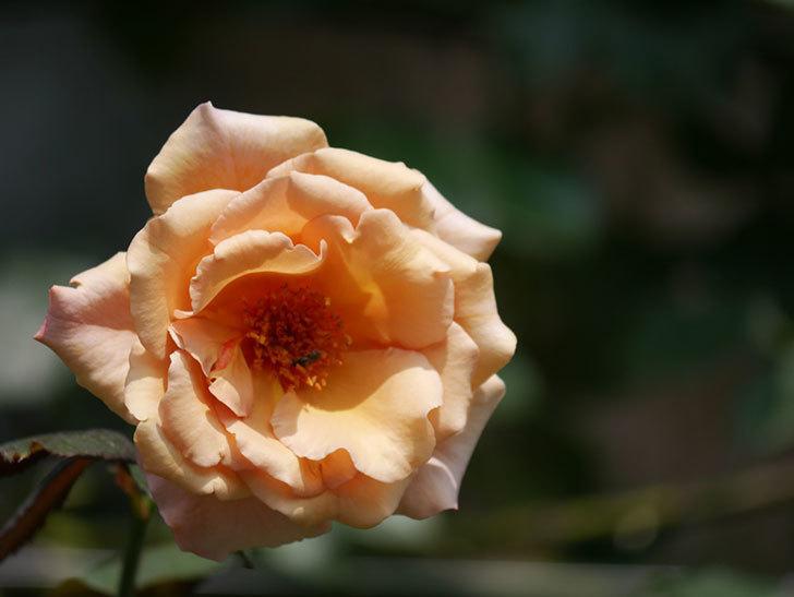 つるジュリア(Julia Climbing)の夏花がまた咲いた。ツルバラ。2020年-008.jpg