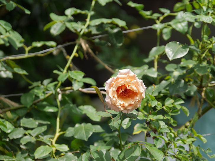 つるジュリア(Julia Climbing)の夏花がまた咲いた。ツルバラ。2020年-009.jpg