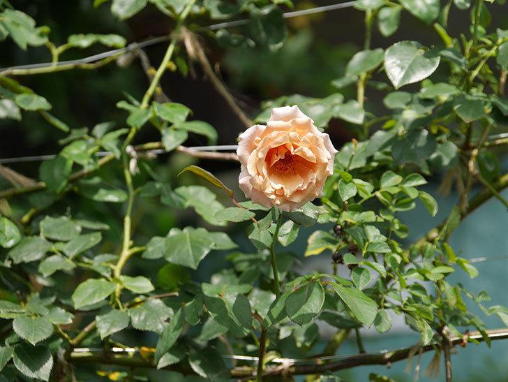 つるジュリア(Julia Climbing)の夏花がまた咲いた。ツルバラ。2020年-010.jpg