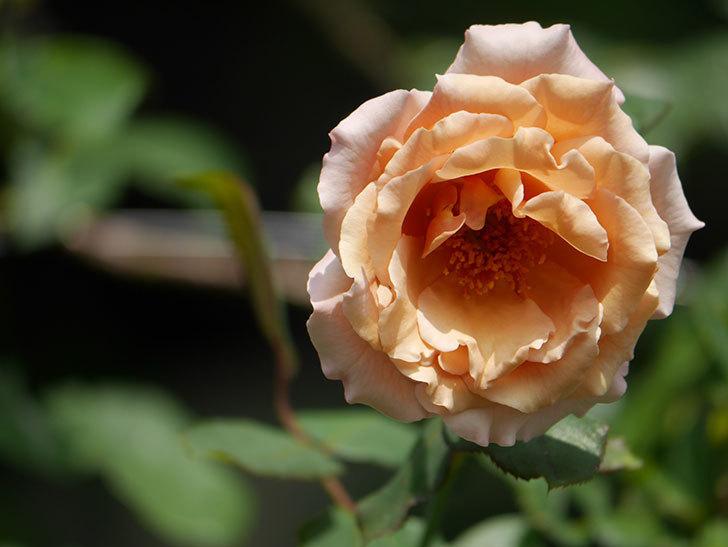 つるジュリア(Julia Climbing)の夏花がまた咲いた。ツルバラ。2020年-011.jpg