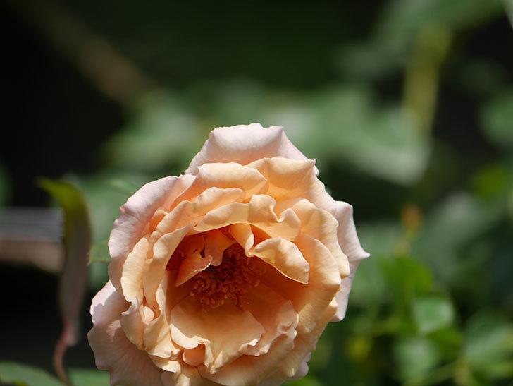 つるジュリア(Julia Climbing)の夏花がまた咲いた。ツルバラ。2020年-012.jpg
